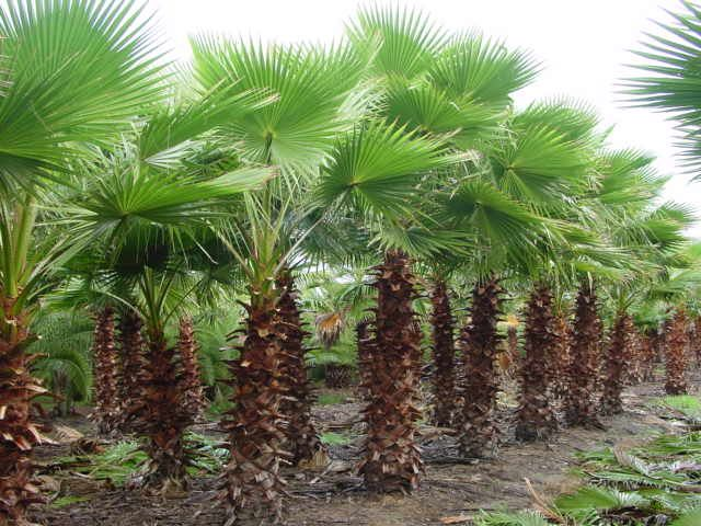 Mexican Fan Palm...I have a lot of those on the property...I need to slowly start to replacing them with a shorter palm...