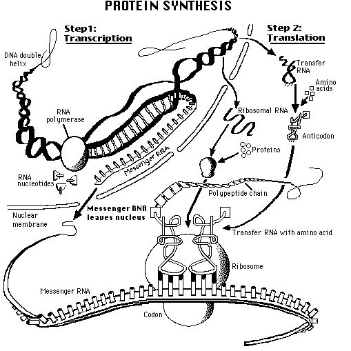 Biology: what does protein mean?