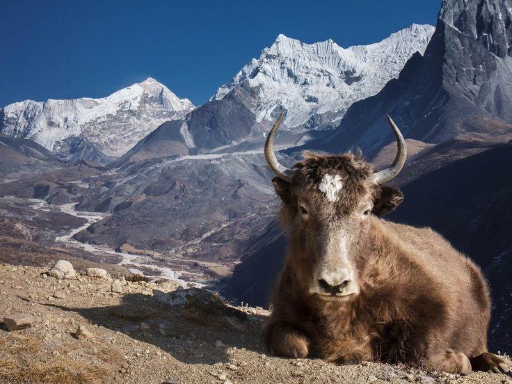 A dzo unfazed by the epic Himalayan landscape © Indrik Myneur / CC by 2.0