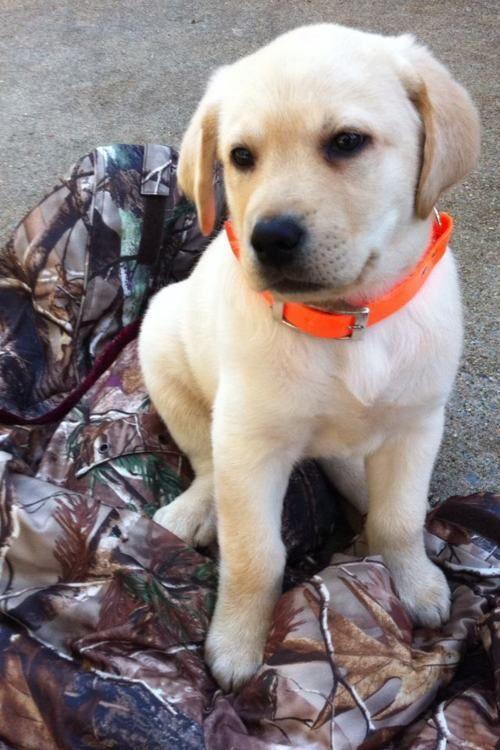 Best 25+ Hunting dogs ideas on Pinterest | Leopard dog ...  Best 25+ Huntin...