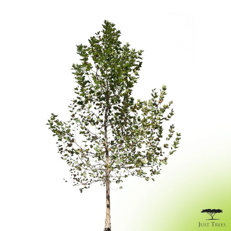 For our next ABC's of exotic trees we're looking at the Platanus acerifolius or London Plane. This large deciduous tree is easily grown in full sun and can also tolerate light shade. It does well in large spaces and provides great shade in warmer months. We currently have stock of 40, 100, 200, 400 and 1000L options. Why not make use of our new .PNG function to give it a try in your landscape designs?