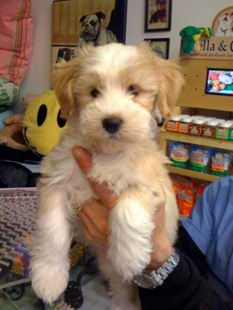Tibetan Terrier is a small-medium sized dog breed originated in Tibetan region.Tibetan Terriers have long haired coats.Tibetan Terriers are considered as one of the most ancient existing dog breed.They are easy to train and have ability to get along well with children and other dogs.They are ranked as the most ideal breed for small apartment livings.