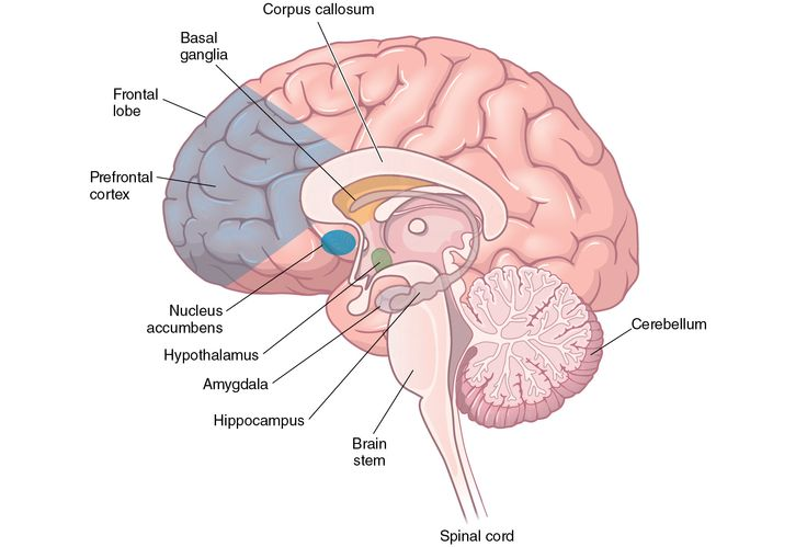 Illustration of the structures that compose the limbic system in the brain, including the amygdala, hippocampus, hypothalamus, nucleus accumbens, basal ganglia, and ventral tegmental area and substantia nigra.