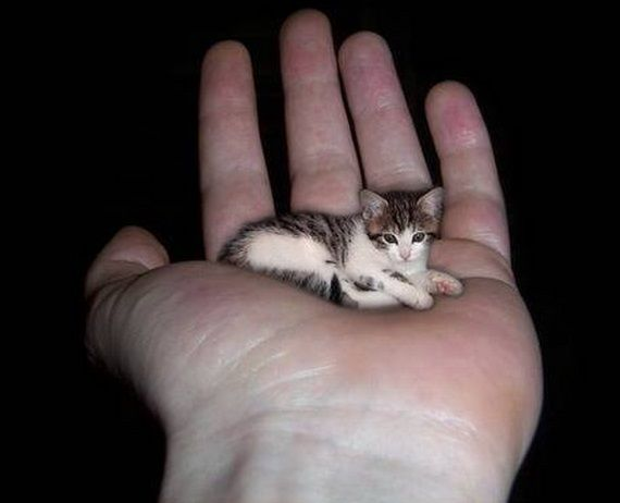 Top 10 Smallest Cats In The World Tiny Cats Small Cat Small Pets