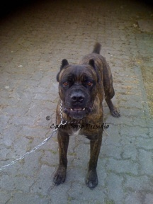 Presidio's Forte, the Ultimate Guard Dog! - Brindle Cane Corso Italian Mastiff, 2009 ~ Steinborn, Germany