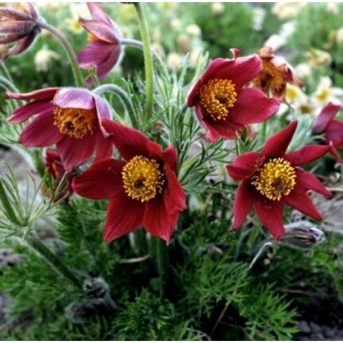 pulsatilla_vulgaris_red_bells.jpg (500×500)