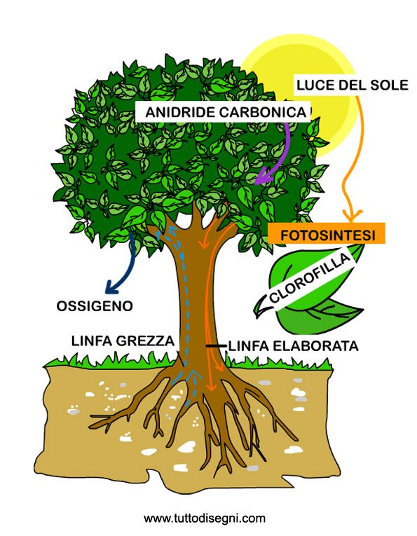 Immagine di http://tuttodisegni.com/files/2011/10/fotosintesi-clorofilliana2.jpg.