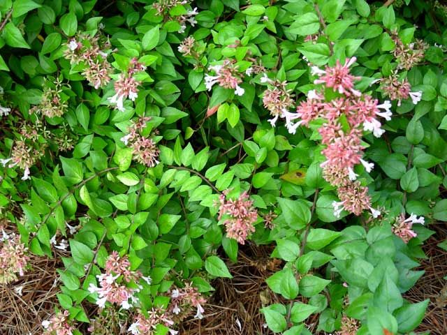 Abelia canyon creek flowering evergreen shrub garden for Small evergreen flowering trees
