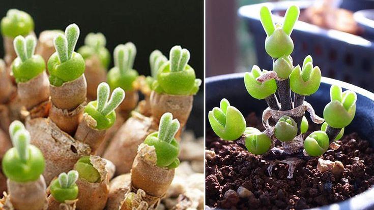 När den ovanliga suckulenten gror ser den precis ut som en liten kanin. Nu har växten tagit internet med storm.
