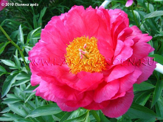 Купить пионы Cytherea (Saunders, 1953), тип: Г1, срок: EM, форма цветка: ПМ, высота: 65, диаметр: 16