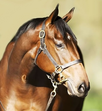 "Australia's record priced yearling filly of 2012 season, the half sister to Black Caviar from Redoute's Choice out of Helsinge. Given the stable name ""Pippa"" due to her royal heritage, she has just been broken in and is apparently an ""A"" grade student - smart, but with a strong will."