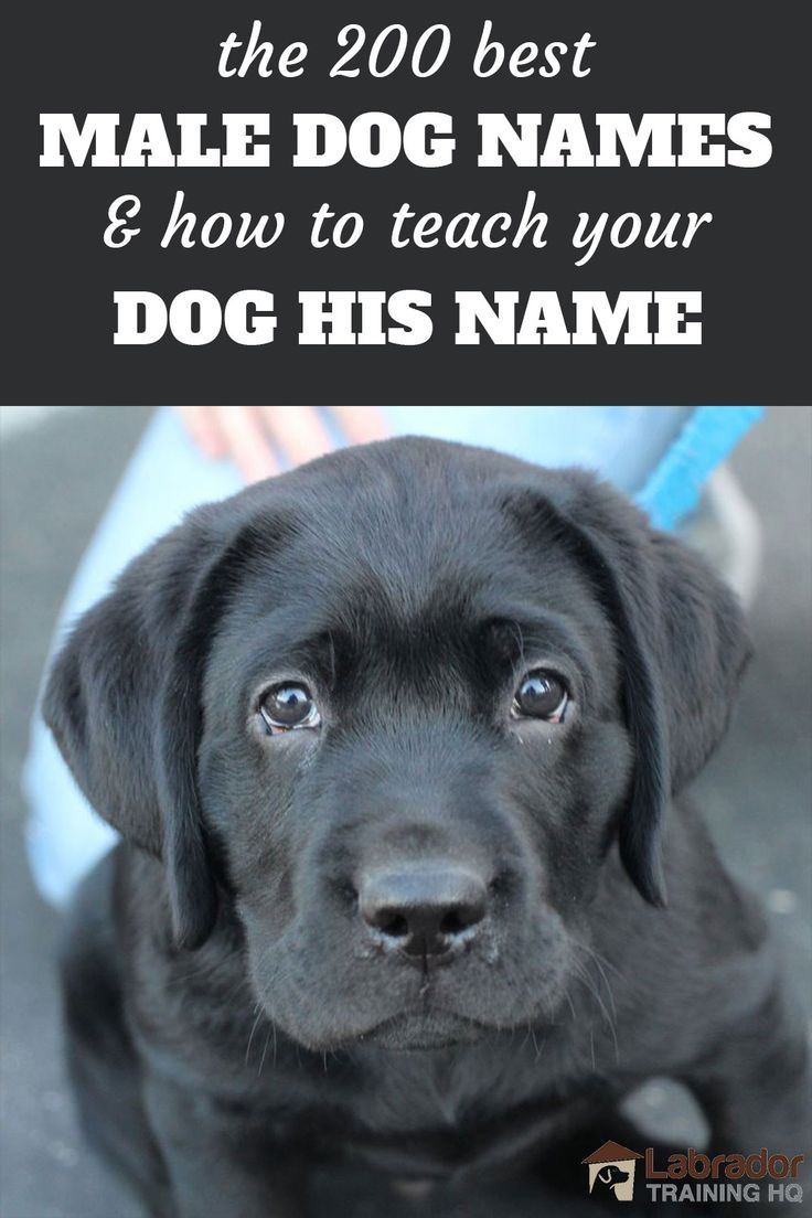 200 Best Male Dog Names And How To Teach Your Dog His Name In 2020 Dog Names Best Male Dog Names Cute Names For Dogs