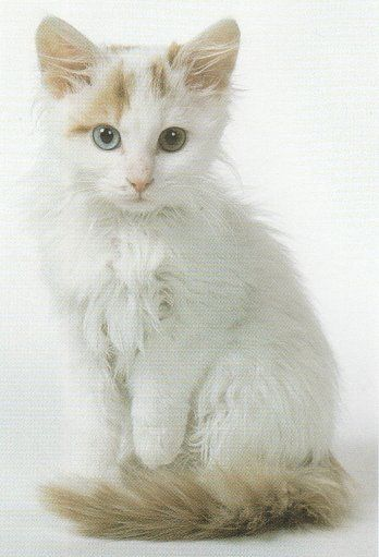 I want another Turkish Van...this is one cute little guy!