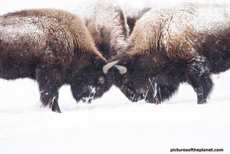 American bison clash horns on the snow, during winter in Yellowstone National Park. - See more photos of American bison (American buffalo) in the wild on Pictures of the Planet - http://www.picturesoftheplanet.com/animals/American-Bison-Pictures/