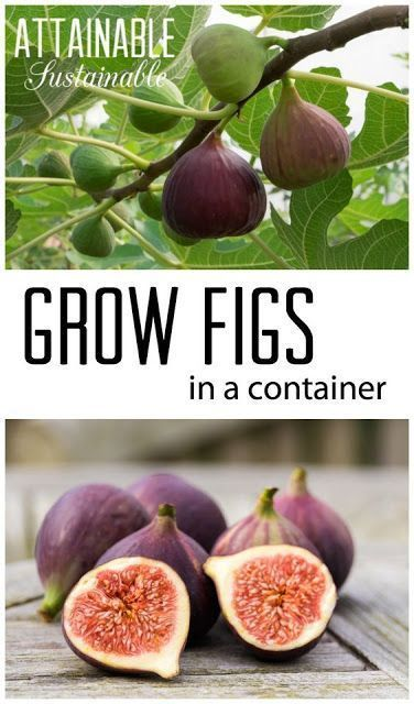 Container Gardening: Grow a Fig Tree in a Pot #organicgardening