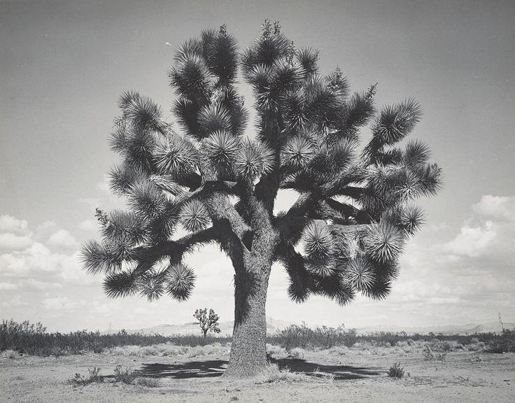 Joshua Tree near Victorville, California (1947)