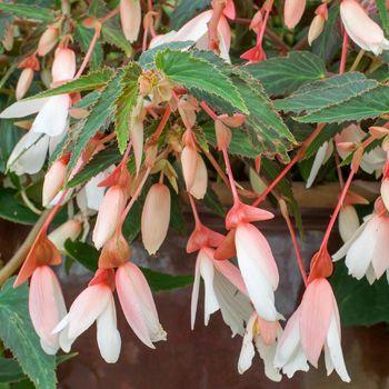 Begonia 'Million Kisses Elegance' - Begonia boliviensis hyb. plants - Select Seeds