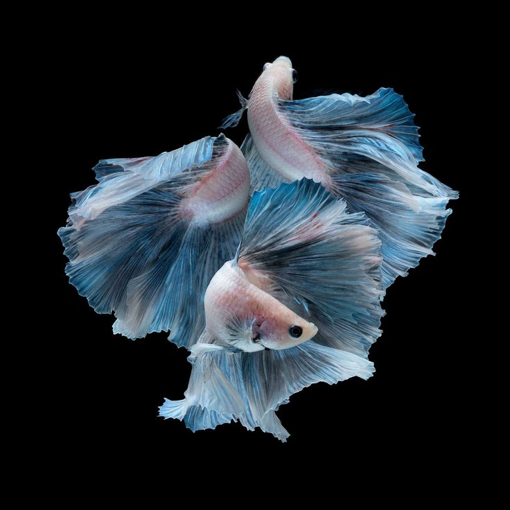Angie - Capture the moving moment of blue siamese fighting fish isolated on black background. Betta fish. Fish of Thailand