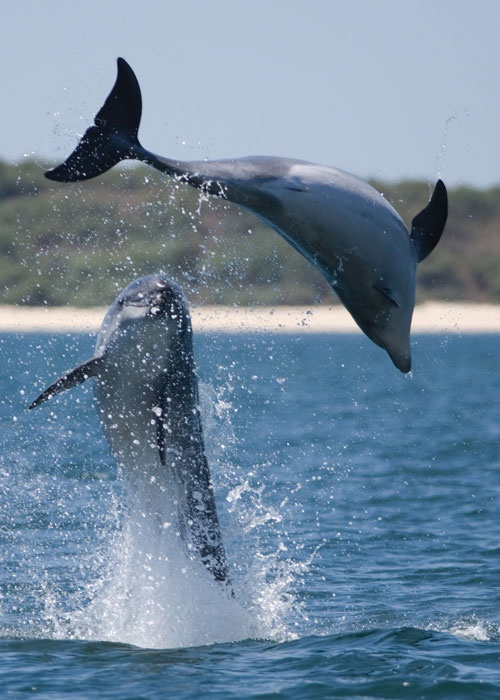 The nature reserve of the Sado Estuary has enormous biodiversity, including Bottlenose dolphins, which are only found in this part of Portugal and are the only ones in the world... Lisbon