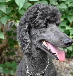 ROSCOE is an adoptable Standard Poodle Dog in Elk River, MN. 'ROSCOE' is a very tall, blue, stunning and handsome neutered Standard Poodle who comes to us from a loving family with children where Rosc...