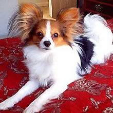 Long Haired Papillon. Lovable little companions..and smart too!