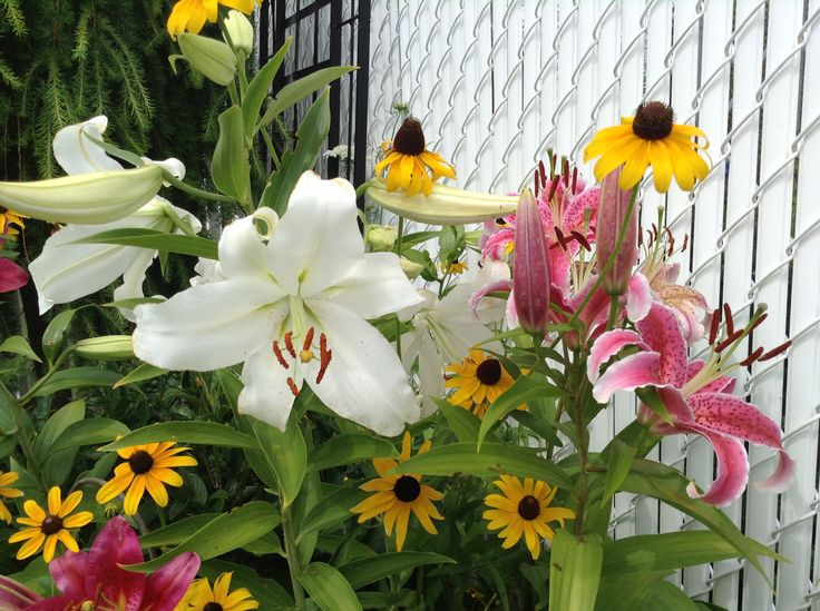 Black eye Susan side by side with my oriental lilies
