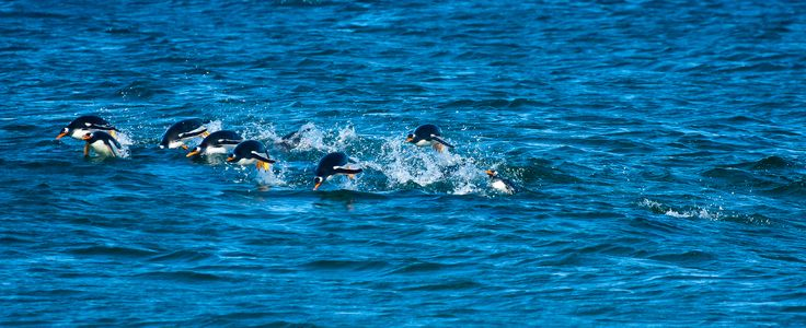Penguins swimming for their lives. Falkland Islands