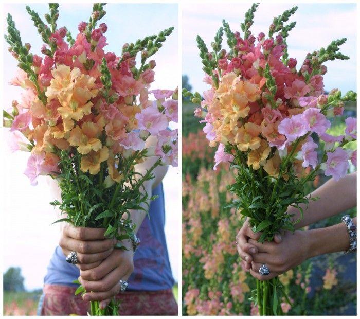 Chantilly Snapdragons http://www.floretflowers.com/2014/02/flower-focus-snapdragons/