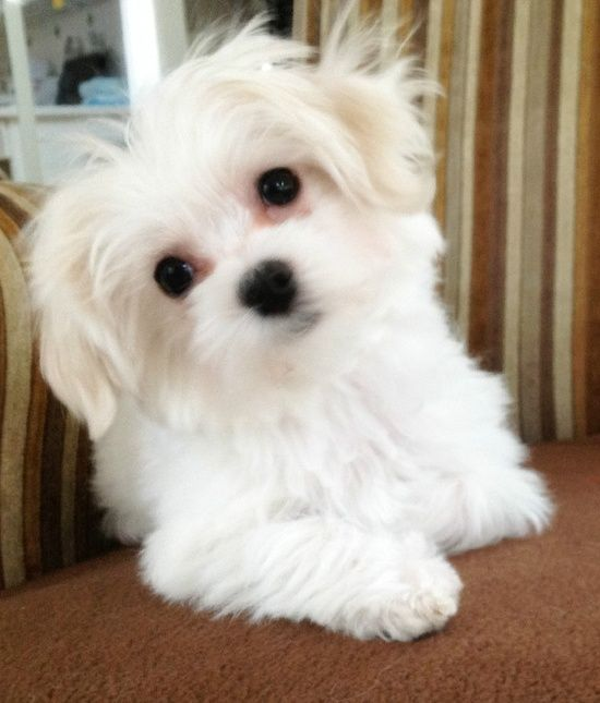 Dog Chewed Up Rug: Best 20+ Maltipoo Breeders Ideas On Pinterest