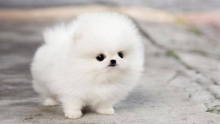Tiny Pomeranian Puppy With An Extremely Fluffy White Coat Big Dark Eyes And A Very Small Black Nose Cute Dogs Images Cute Puppy Wallpaper Cute Puppy Photos