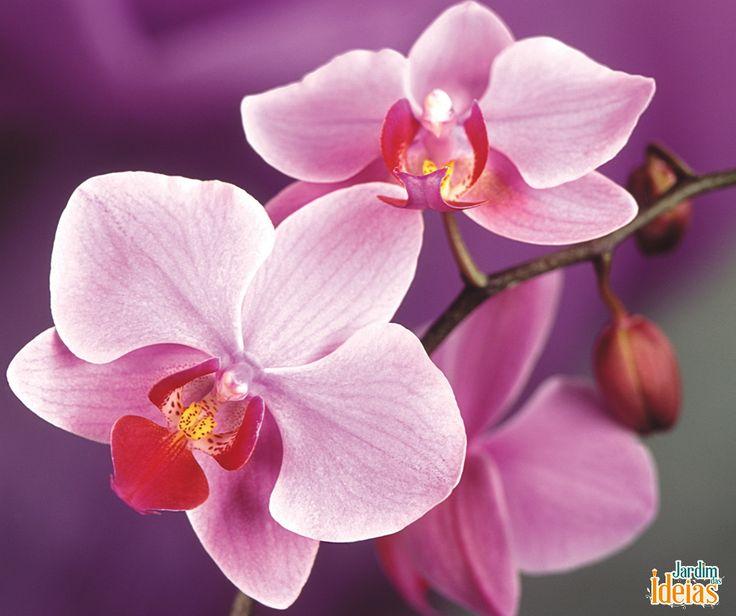 Você sabe como verificar se a sua orquídea está saudável? Aqui estão alguns sintomas e os motivos: Pontos pretos podem ser causados por falta de água ou de nutrientes, ou até pela exposição solar muito forte;  Folhas enrugadas são sintoma de falta de água; Manchas nas folhas ou flores podem ser ataque de fungos ou bactérias; Folhas amareladas podem ser causadas pelo excesso de água ou  pela falta de nutrientes. Observe a sua orquídea para manter ela sempre bonita!
