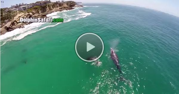 GoPro Drone Video of Blue Whales. Gray Whales, and a MegaPod of Dolphins... amazing footage: http://cruisesource.us/2015/03/blue-whale-gopro-drone-video/