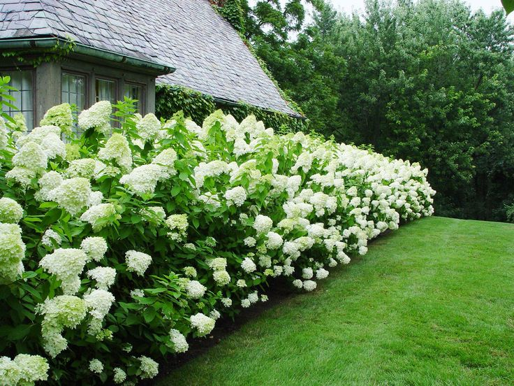 17 best images about hydrangea on pinterest snowball. Black Bedroom Furniture Sets. Home Design Ideas