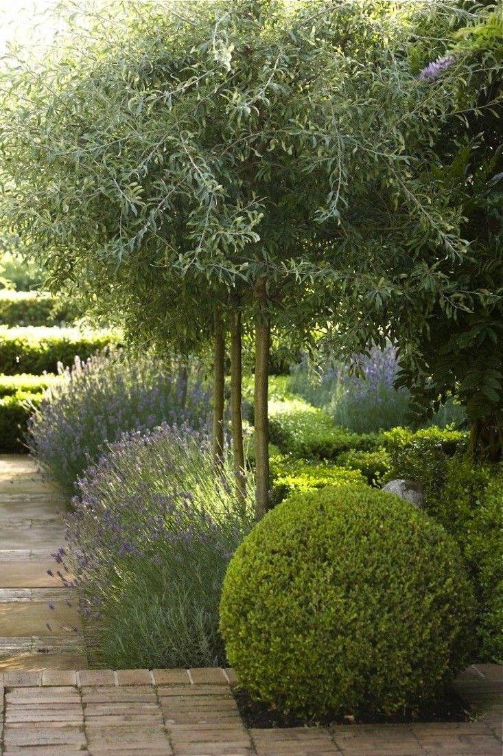 Drought Tolerant Plants: French Lavender; Olive Trees, And New Zealand  Grasses, Particularly