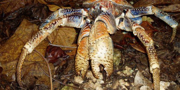 En plus d'être l'espèce de crustacés décapodes la plus imposante, le crabe des cocotiers dispose également d'une poigne d'enfer.