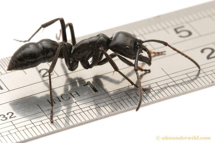 Camponotus nigriceps  z Austrálie. Mravce rodu Camponotus  patria medzi najväčšie mravce na svete. Foto: Alexander Wild .   Je zau...