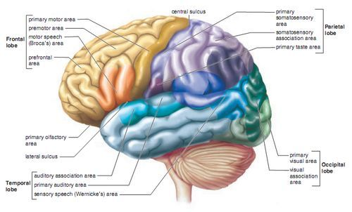 location and function of the parts of the cerebrum - Google Search