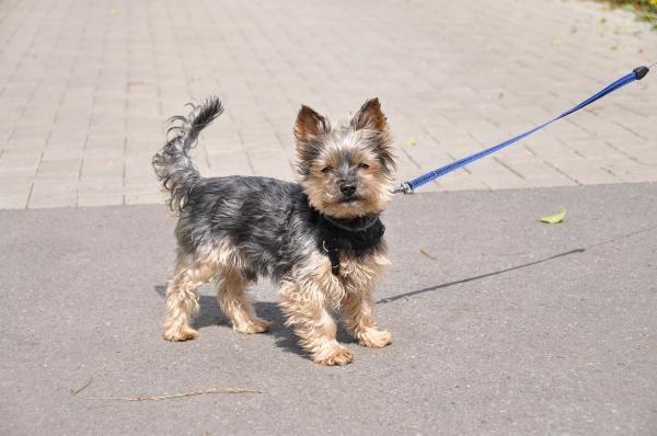 Dicas para adestrar um Yorkshire. Sabemos que os cachorros de raça pequena são verdadeiramente genuínos e que sua estrutura pequena abarca muitas vezes uma grande personalidade que se mistura de form...