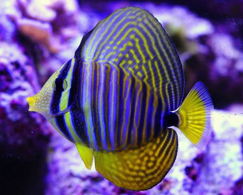 The 25 best ideas about reef safe fish on pinterest for Tang saltwater fish
