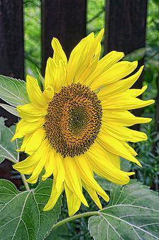 http://fineartamerica.com/featured/sunflower-flower-alexander-ovchinnikov.html
