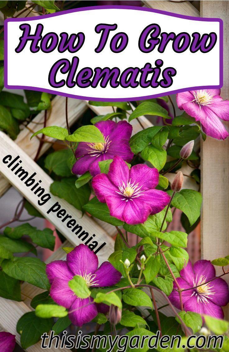 Wie Clematis wächst ein wunderschöner Kletterbaum. #clematis #perennial #climb…
