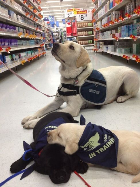 service dogs, in training.