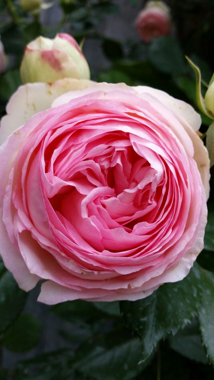 Ho/how to take care of climbing roses for winter - Rosa Pierre De Ronsard