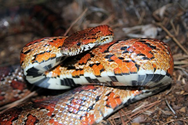69 best images about beautiful snakes. on Pinterest | Mice ...