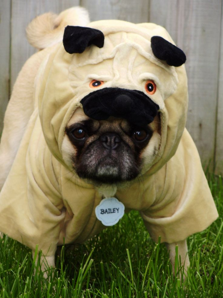 pug in a pug costume - Pugs Halloween Costumes