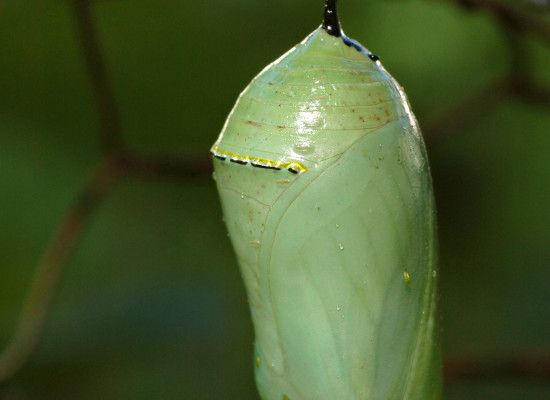 7 Monarch Butterfly Pupa Photos