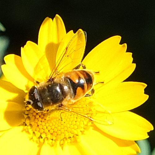 Bee on Paris Daisy_0002.jpg