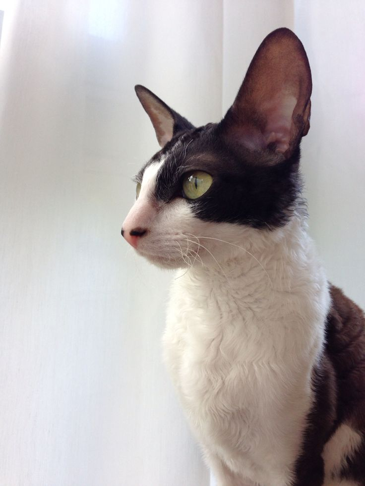 Siri, cornish rex