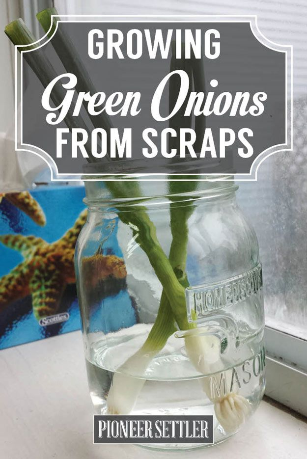 Never Throw your Scraps again, Try this Easy and Quick Gardening Tips and Enjoy Fresh Herbs Everyday right from your own Kitchen! by Pioneer Settler at http://pioneersettler.com/how-to-grow-green-onions/