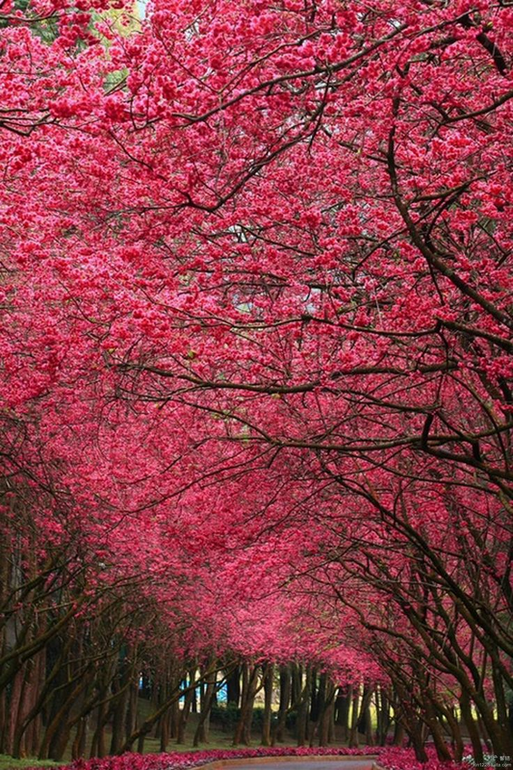 247 best flowering trees images on pinterest flowering trees